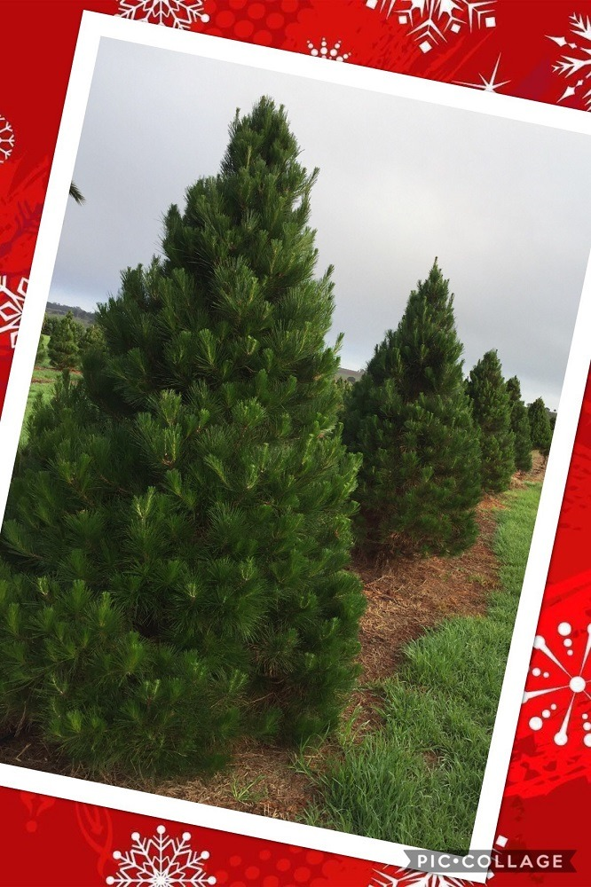 Chrissy Trees 4 U Make This Christmas Perfect With A Real Tree